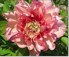 1 Peony Bulb Hillary 3-5 eye root Home Garden Plant Flower Blooming Bonsai Decor