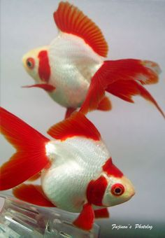 Red Cap White long-tail ryukin goldfish with humpback | Water Life... | Pinterest | Ryukin goldfish, Water life and Goldfish