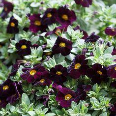 Can-Can Dark Purple Calibrachoa