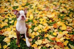 Boston Terriers know that Fall and Autumn Leaves are Fun!     See more Pics ► http://www.bterrier.com/?p=26420 - https://www.facebook.com/bterrierdogs