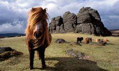 Dartmoor wild ponies on Dartmoor, Devon UK. Dartmoor is a National Park Devon Uk, Devon And Cornwall, Devon England, Puerto Rico, Dartmoor National Park, Beautiful Horses, Great Britain, The Great Outdoors, Woodland
