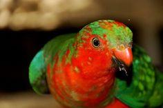 Photo Juvenile male king parrot by Dani Katz on Wild Birds, Beautiful Birds, Over The Years, Wildlife, Parrots, King, Queensland Australia, Gold Coast, Facebook