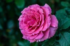 How can you not love this beautifully captured rose? Photo by Victor Holguin.