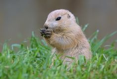 A baby marmot.