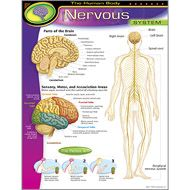 The Human Body Nervous System Learning Chart
