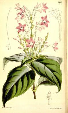5440-eranthemum crenulatum grandiflorum, Crenulate-leaved Eranthemum Large-flowered variety      ...