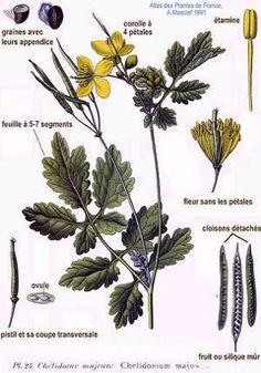 Chelidonium majus Greater Celandine, Swallow Wort, Greater ...