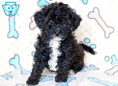 Dustin | Maltipoo Puppy For Sale | Keystone Puppies