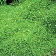 """Irish Moss--2-4"""" tall, that spread quickly, take foot traffic and seldom need clipping. Best of all, it stays green all year long, accented with delicate white flowers blooming from mid spring to early summer. Space 10-12"""" apart. Zones 3-9. Ships in 2"""" pots. Sagina subulata. Partial to Full Shade - See more at: http://www.springhillnursery.com/product/irish_moss#sthash.eRozVHCI.dpuf"""