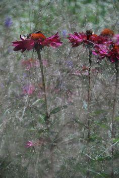 Echinacea in Piet Oudolf's own garden in Holland