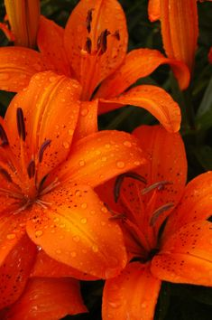 Tiger Lilies | Tiger Lilies, my mother's garden. | Aaron Tank | Flickr