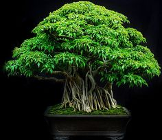 There are many varieties of bonsai Ficus trees to chose from. They are definitely one of best beginner bonsai subjects. Indoors, Ficus bonsai trees require high light, but otherwise they are easy. Bonsai Ficus, Bonsai Garden, Succulents Garden, Indoor Trees, Indoor Bonsai, Indoor Plants, Indoor Gardening, Air Plants, Cactus Plants