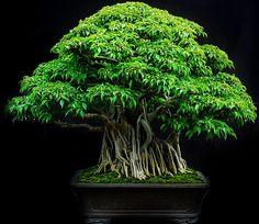 colection photos Bonsai Indonesia 1 | Rodrigo Sousa | Flickr