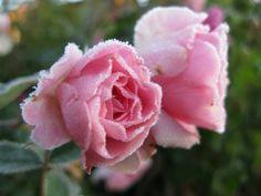 HOW TO OVERWINTER ROSES |The Garden of Eaden