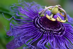 passionflower, photo by romanlily  http://www.flickr.com/photos/romanlily/with/34936669/ http://en.wikipedia.org/wiki/Passiflora #flowers #nature #passion_flowers