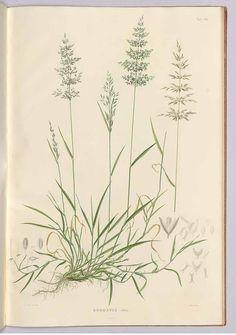 """241921 Poa nemoralis L. [as Agrostis alba L.] / Meyer, G.F.W., Flora des Königreichs Hannover, vol. 1: t. 8 (1842) [W. Eberlein] Продукция для укрепления и поддержания здоровья. Обучающие семинары. Биологически активные добавки. #БАД #NSP #Wellness <a href=""""http://www.natr-nn.ru/"""">Все для вашего здоровья и красоты</a>"""