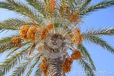 Date Palm from below.  https://www.dreamstime.com/stock-photography-image101700462#res18554481  #date #palm #plant #tropical #background #backdrop #design #designer #designthinking #webdesigner #branding #brandidentity #art #idea #beautiful #summer #beauty #image #photo #photography #poster #posterdesign #closeup #season #tree #fruit #advertisement #marketing #calendar #coverpic #pálmafa #pálma #datolya #datolyapálma #gyümölcs #trópus #háttér #növény #nyár #fotó #kép #reklám #poszter