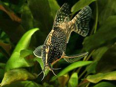 Tropical Freshwater Fish, Tropical Fish Aquarium, Freshwater Aquarium, Community Fish Tank, Small Catfish, Cory Catfish, Aquarium Catfish, Aquarium Pump, Monster Fishing