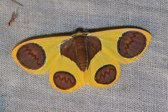 Beautiful moth! Plutodes flavescens (Geometridae: Ennominae: Plutodini)
