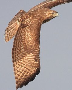 Wings of a Red Tailed Hawk.
