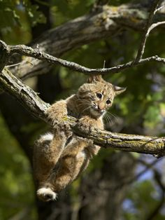 The trees are alive with bobcats