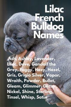 Ash, Ashley, Lavender, Lilac, Dove, Gandalf the Grey, Foggy, Hazy, Hazel, Gris, Grigio Silver, Vapor, Wraith, Powder, Bullet, Gleam, Glimmer, Glitter, Nickel, Shine, Sterling, Tinsel, Whisp, Satin #FrenchBulldog #FrenchBulldogs #FrenchBulldogpuppy #FrenchBulldogpuppies #TheFrenchBulldog #cuteFrenchBulldogs #FrenchBulldogVideos #LilacFrenchBulldogs #Frenchies Lilac French Bulldog, French Bulldog Names, French Bulldog Breed, French Bulldogs, Animal Jokes, Funny Animal, Dog House Kit, Dog Lover Gifts, Dog Lovers