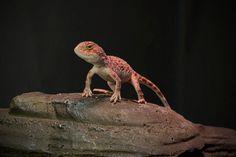 1.0 Tympanocryptis tetraporophora Explore, Animals, Animales, Animaux, Animal, Animais, Exploring