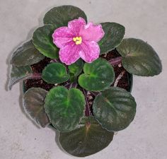 What Pot Size To Use For African Violet Plants? - Baby Violets Above The Rim, Violet Plant, African Violet, Plant Needs, Violets, Potted Plants, Roots, Succulents, Bloom