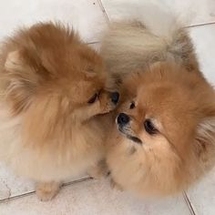 The funny fellow puppies Spitz Pomeranian, Cute Pomeranian, Pomeranians, Cute Dog Photos, Cute Puppy Pictures, Cute Funny Animals, Cute Baby Animals, Animals Dog, Funny Dog Videos