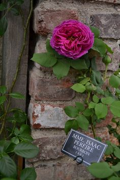 Mme Isaac Periere Bourbon rose by stopwatchgardener, via Flickr