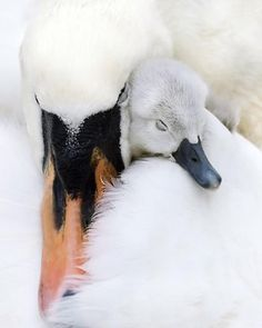 Cisnes - Mother and baby swan. Animals And Pets, Baby Animals, Cute Animals, Funny Animals, Beautiful Birds, Animals Beautiful, Beautiful Swan, Simply Beautiful, Tier Fotos