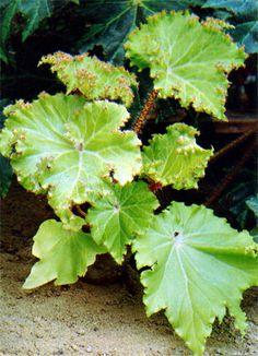 Oak Leaf Begonia - Star Begonia ( Begonia heracleifolia) - BEGONIA RICINIFOLIA