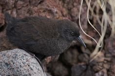Inaccessible Island Rail (Atlantisia rogersi) - Inaccessible Island rail…