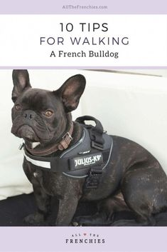 10 Tips for Walking A French Bulldog is part of Bulldog puppy training - This may seem like a bizarre topic, but walking our Frenchie, Pepper, on a lead was actually one of the Read Merle French Bulldog, French Bulldog Harness, French Bulldog Tattoo, French Bulldog Facts, French Bulldog Blue, French Bulldog Puppies, Teacup French Bulldogs, English Bulldogs, Frenchie Puppies