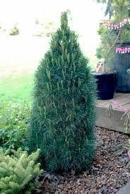 Pinus sylvestris 'Green Penguin'