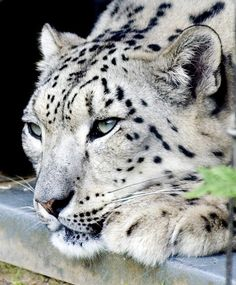 Snow Leopard Female Snow Leopard - love those blue eyes!Female Snow Leopard - love those blue eyes! I Love Cats, Big Cats, Cats And Kittens, Cute Cats, Siamese Cats, Pretty Cats, Beautiful Cats, Animals Beautiful, Nature Animals
