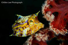 Thorn backed cowfish