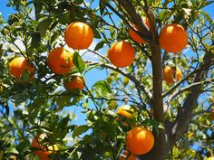 Improved Growth & Fruit Production Miniature Fruit Trees, Fotos Download, Growing Fruit Trees, Growing Plants, Growing Tomatoes, Acerola, Tree Seedlings, Vitamin A, Edible Garden