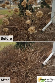 Hydrangea paniculata selections include Limelight (shown), Phantom, Quick Fire, Little Lime, Vanilla Strawberry, ect. All can be pruned with this method.  Pruning should be done before you start seeing leaves on the plant.  Pruning is simple. Once a year, late winter or early spring – remove about 1/3 of the tips of each branch into the body of the plant.  Best to prune the overall form into a somewhat rounded form, not a flat topped plant.  Hurry, it is time to prune!