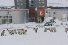 Town of Egilsstadir in eastern Iceland - earlier today. Middle of town, a herd of reindeer just chilling on the lawn across from the local hardware store... Pretty basic... I think Santa is inside, shopping for spare parts for his sleigh... not sure, but I think so...