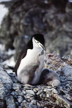 Chinstrap Penguin (Pygoscelis antarctica) A Chinstrap Penguin and chicks on their nest of rocks, Nelson Island, Antarctica by srchester