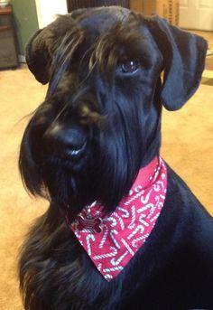 A beauty! Black Schnauzer, Standard Schnauzer, Giant Schnauzer, Schnauzer Puppy, Miniature Schnauzer, Angelina Jordan, Dog Grooming Styles, Black Russian Terrier, Poor Dog