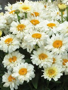 Perennial Search Results Good for Cut Flowers Exotic Flowers, Fall Flowers, Summer Flowers, Cut Flowers, Flowers Garden, Purple Flowers, Garden Plants, Beautiful Flowers, Japanese Chrysanthemum