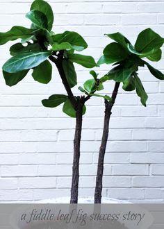 abmoosen geigenfeige plants flowers pinterest. Black Bedroom Furniture Sets. Home Design Ideas