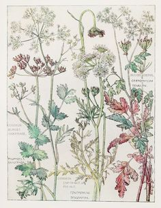 1910 Botanical Print by H. Isabel Adams Parsley by PaperPopinjay ...