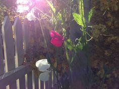 Erteblomster i høstsol. Garden, Flowers, Plants, Pictures, Photos, Garten, Lawn And Garden, Flora, Gardening