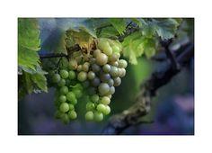 Grapes-I'm Allergic : (