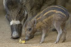 Meet our new reasons for hope—two critically endangered Visayan warty piglets.