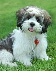 Lhasa Apso puppy - A hypo-allergenic breed. I would love to have one in my family! Plus