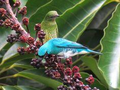 """Saí-andorinha (Tersina viridis) - A primeira vez que avistei um desses foi a uns 50 metros, nem dava para saber que ave era, só sabia que tinha um azul lindo. Tentei tirar foto mais ficou péssimo, só consegui identificar a máscara preta. Depois de procurar pelas """"aves azul no Brasil"""" (e tem muitas ein!) descobri que era o Saí-andorinha. Essa semana essas belezinhas foram muito legais comigo, se aproximaram para mim avistá-las a uns 5 metros de distância, e por 2 dias seguidos. Que maravilha!"""